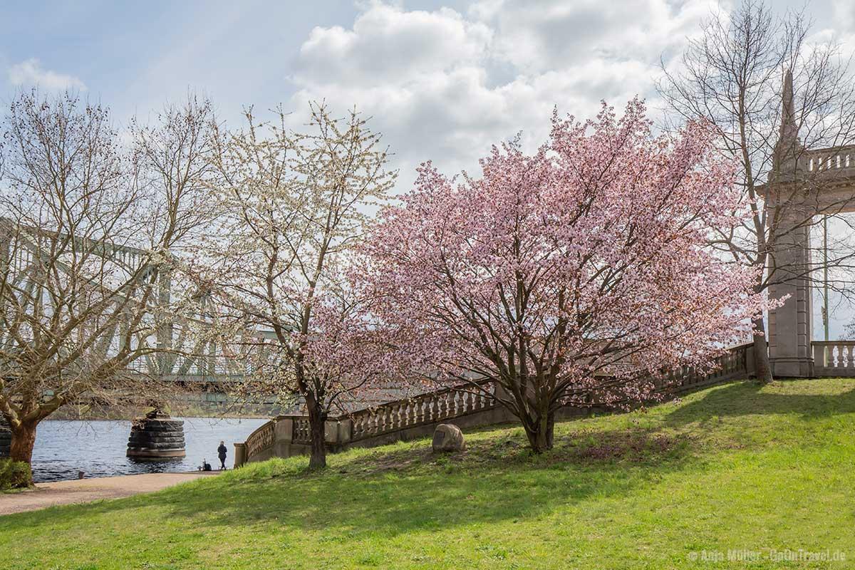 Kirschbäume an der Glienicker Brücke
