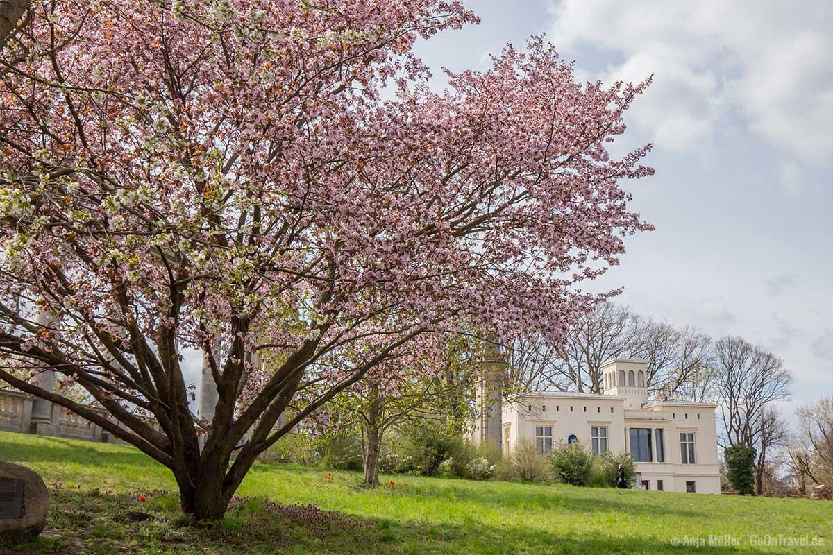Kirschbäume in Potsdam