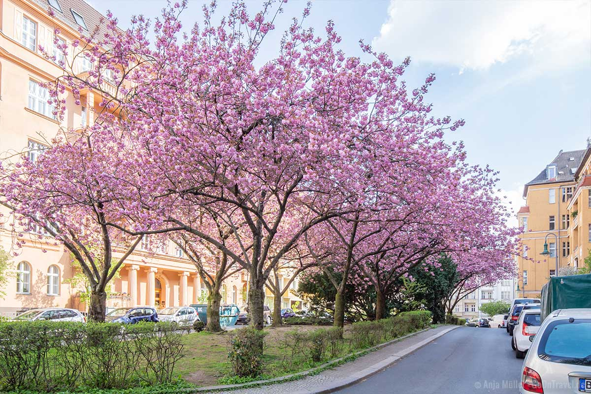 Kirschblüte in der Hewaldstraße