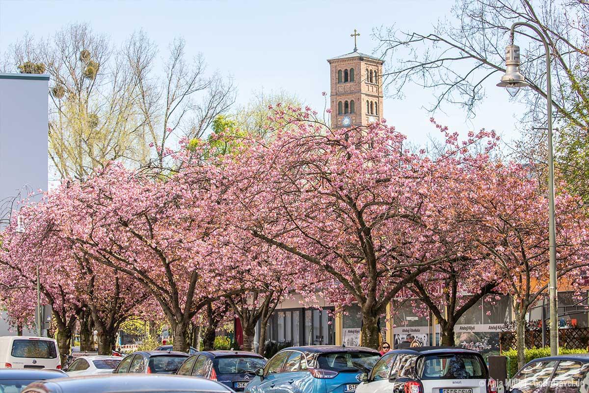 Kirschblüte mit der St.-Jacobi-Kirche im Hintergrund