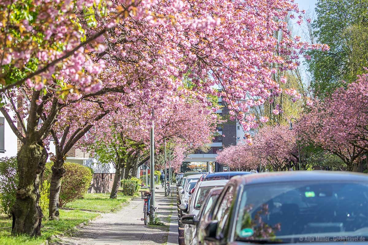 Kirschblüte in der Kommandantenstraße