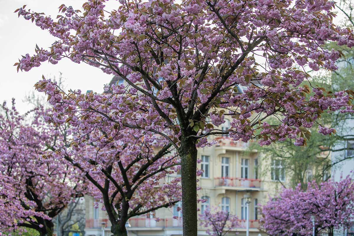 Kirschblüte am Ku-Damm