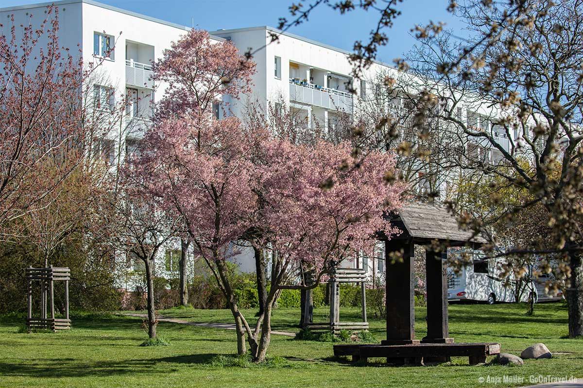 Kirschblüte am Landschaftspark