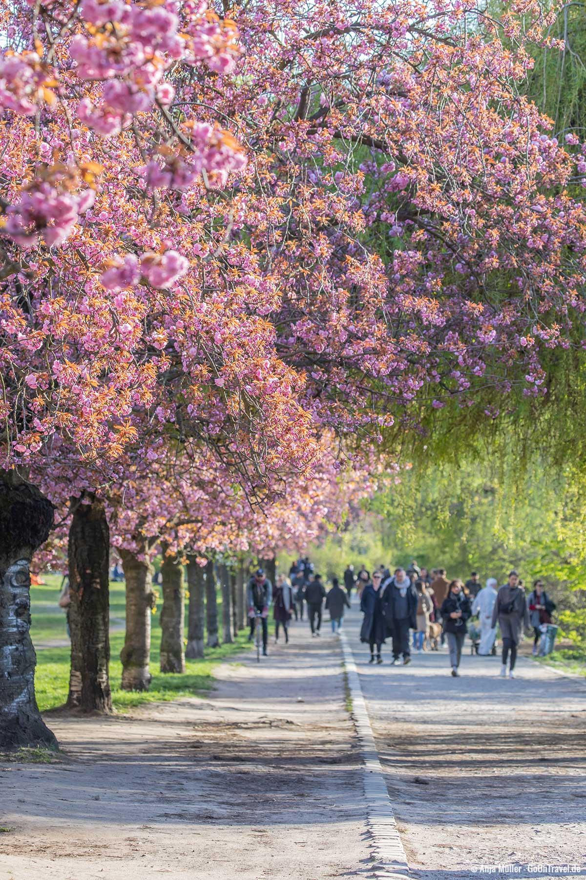 Einer der Hotspots zur Kirschblüte in Berlin