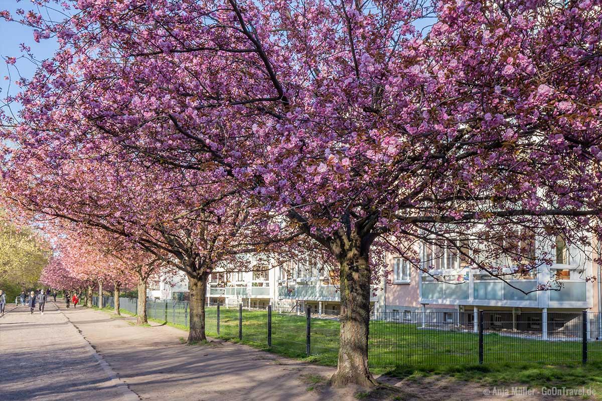 Kirschblüte am Landwehrkanal