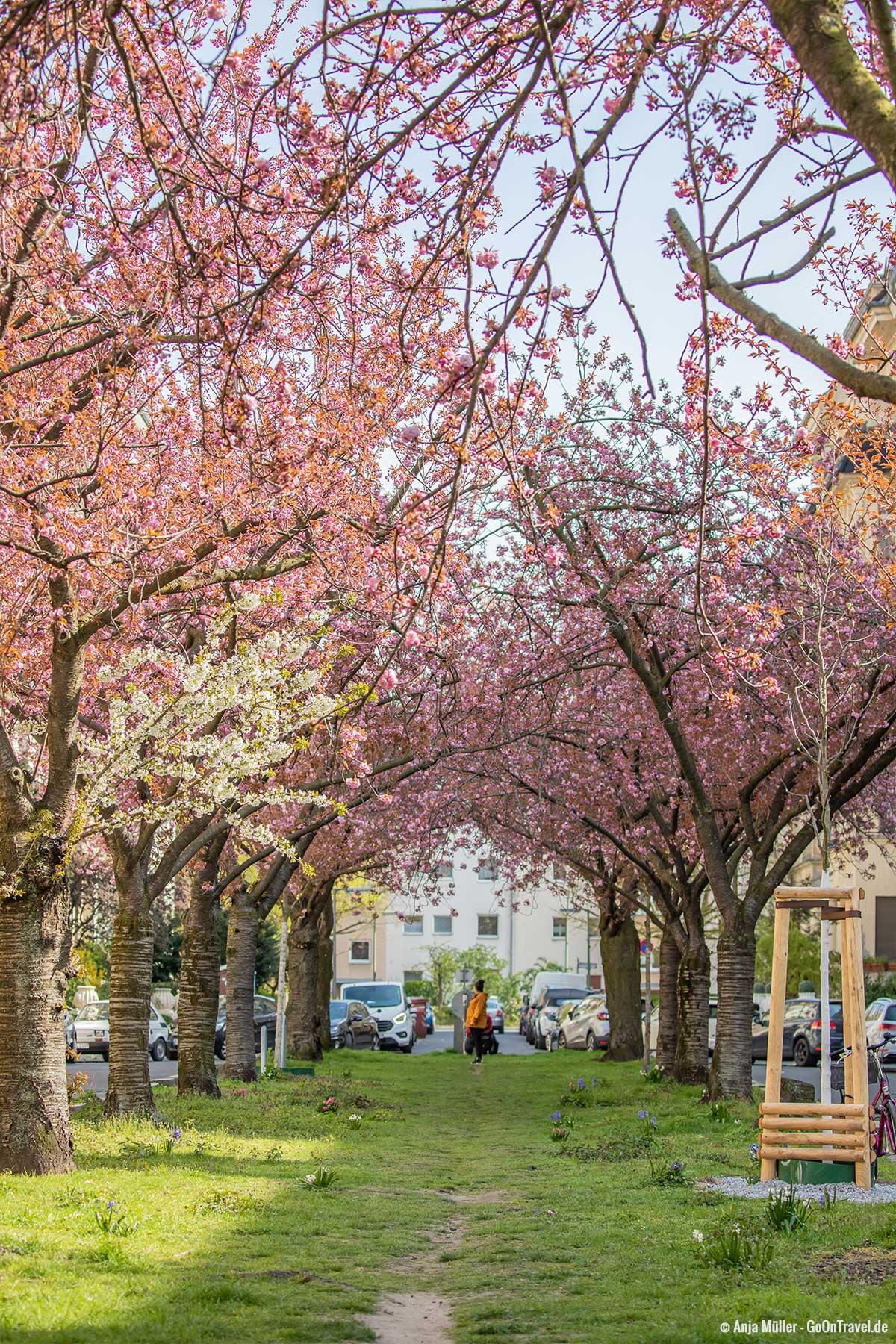 Kirschblütedach in der Nymphenburger Straße