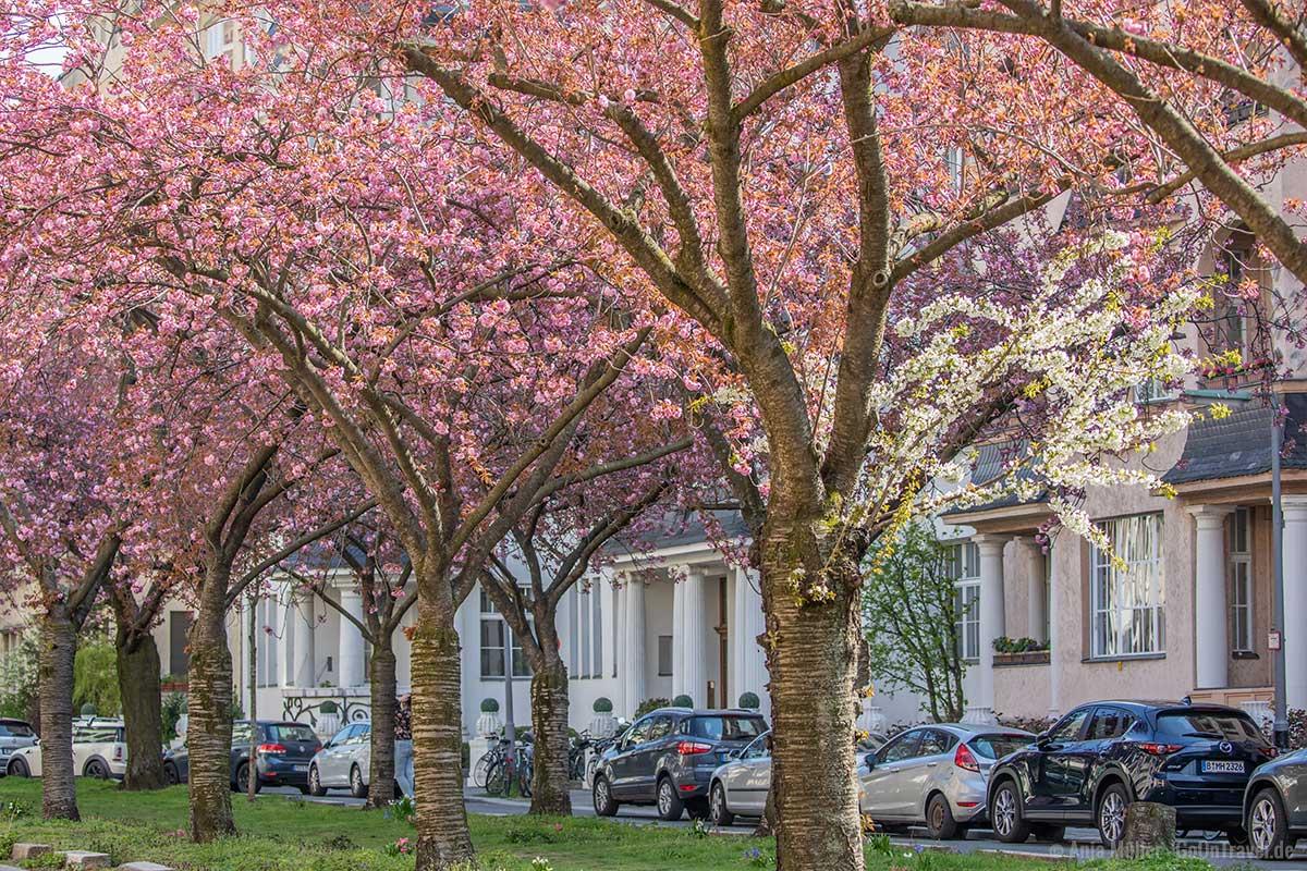 Kirschblüte in der Nymphenburger Straße