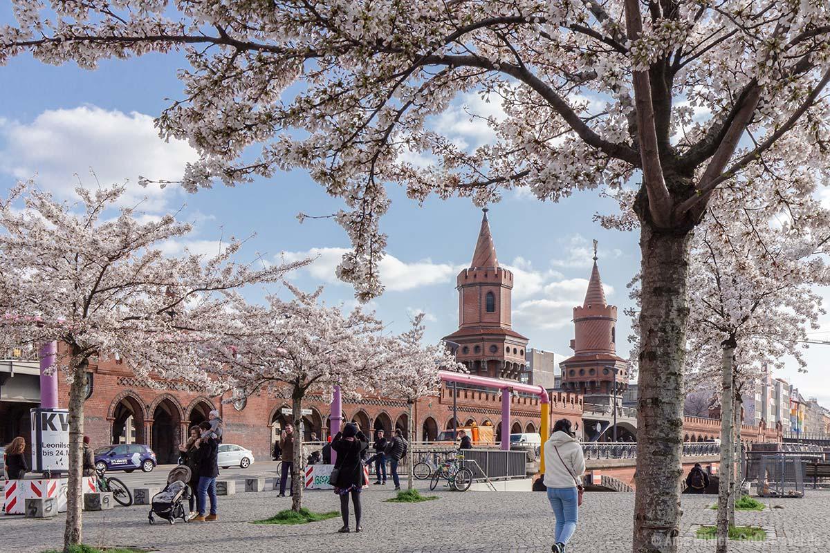 Kirschblüten an der Oberbaumbrücke
