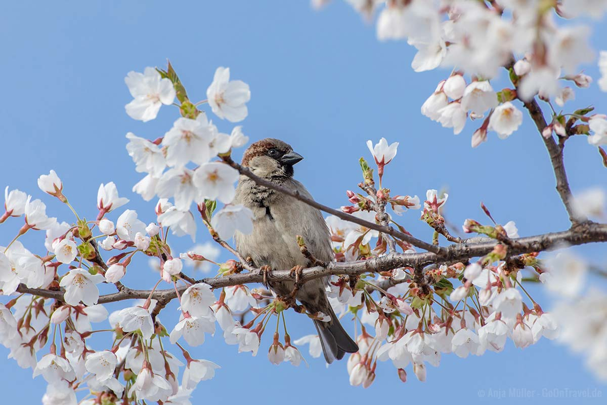 Spatz im Kirschbaum
