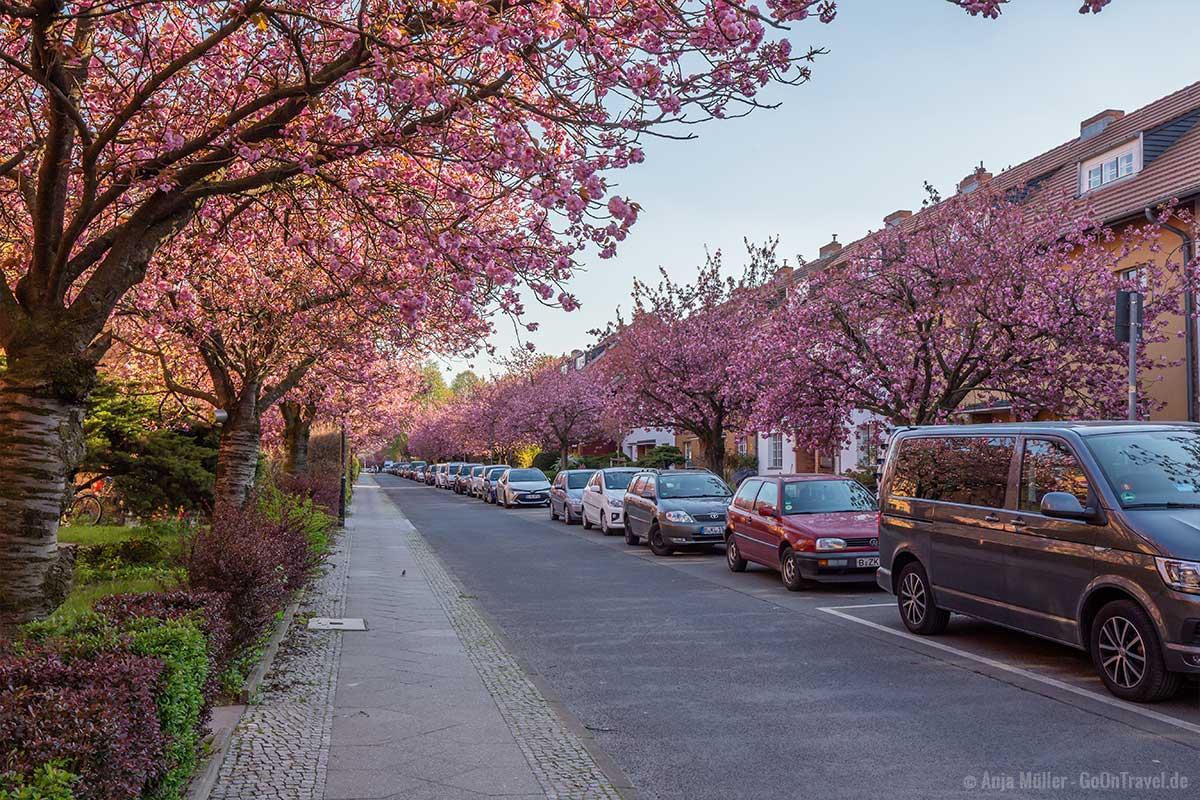 Kirschblüte in der Onkel-Bräsig-Straße
