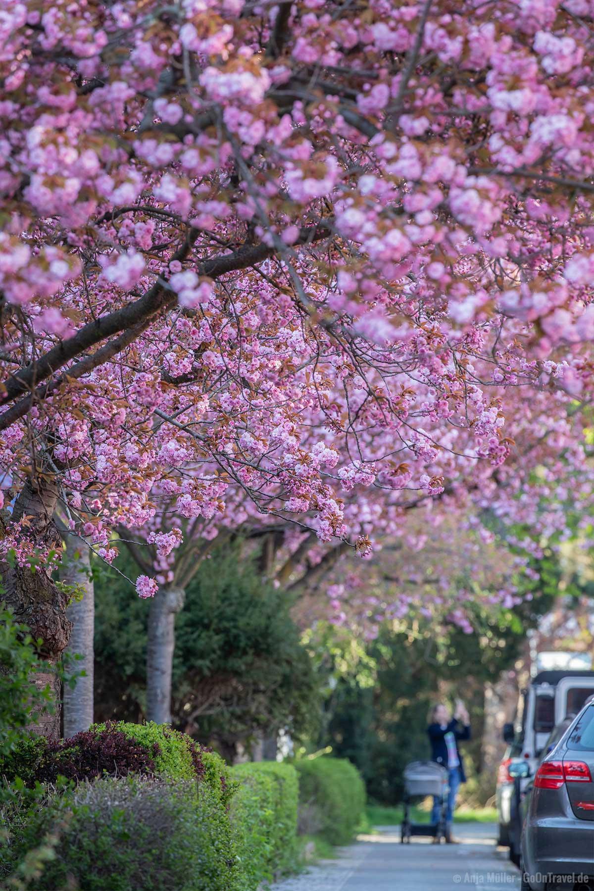 Rosa Blütenmeer in der Onkel-Bräsig-Straße