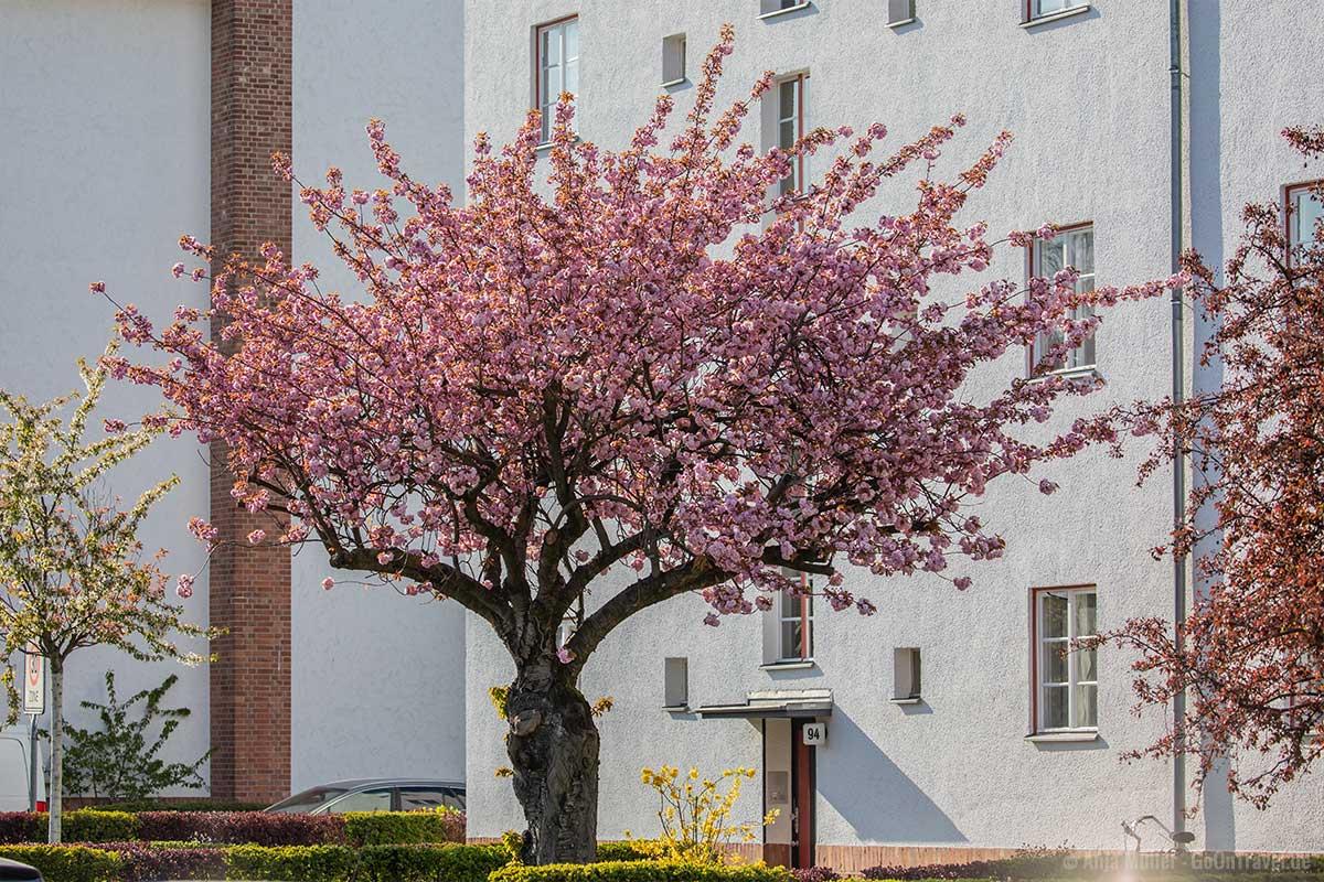 Alter Kirschbaum in der Parchimer Allee
