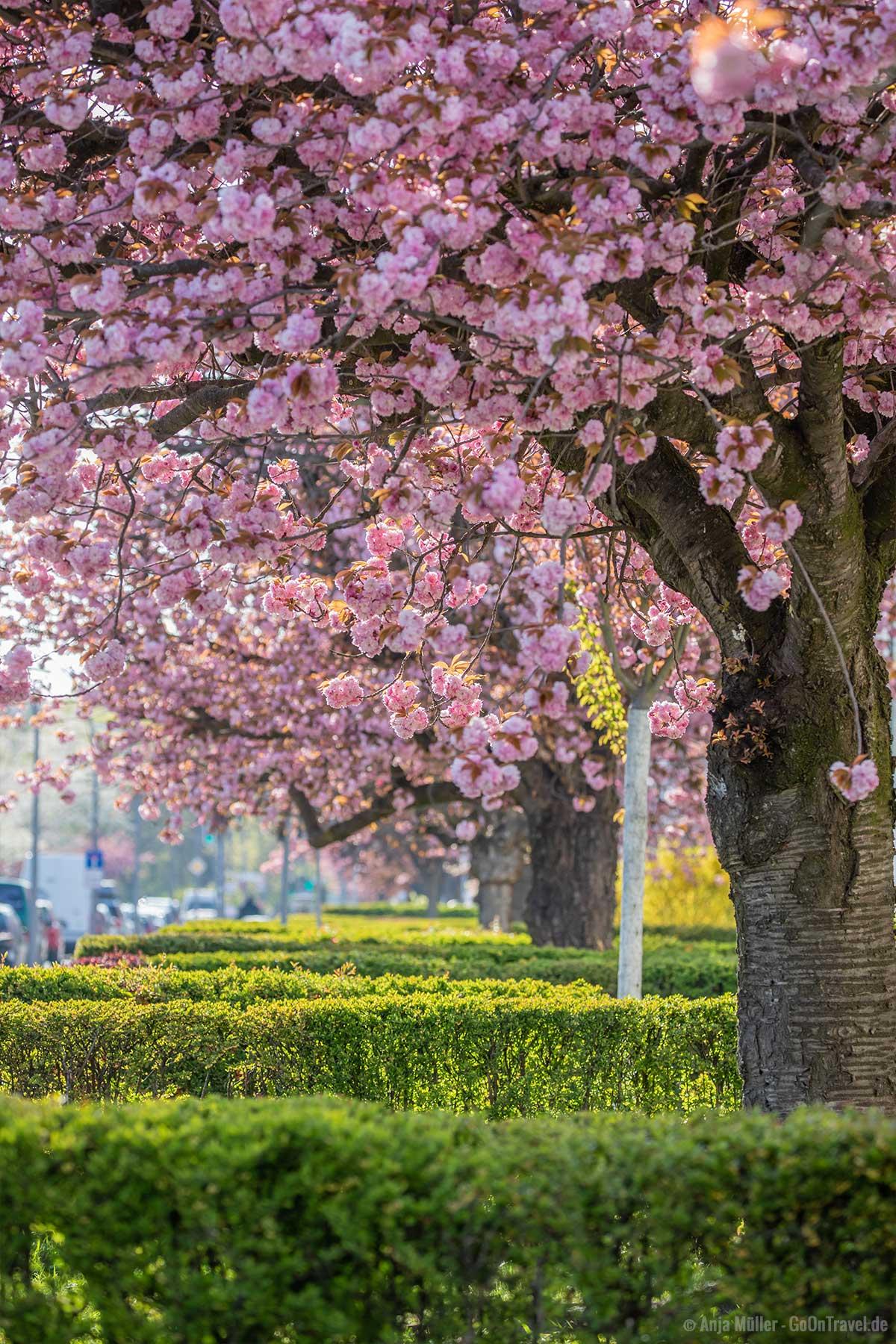 Kirschblüte in der Parchimer Allee