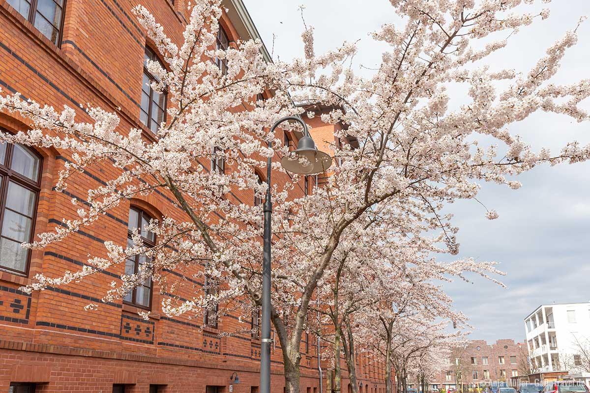Weiße Kirschblüte in der Kosanke-Siedlung