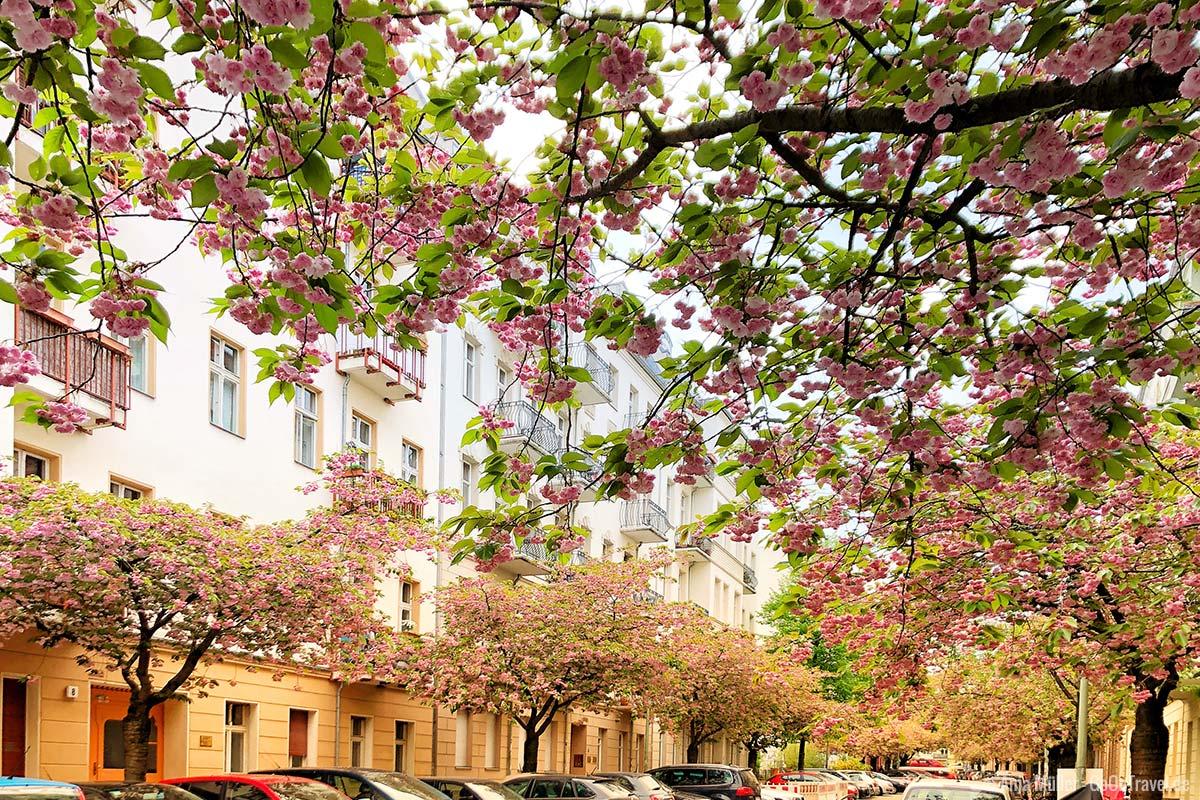 Kirschblüten in der Raabestraße in Prenzlauer Berg