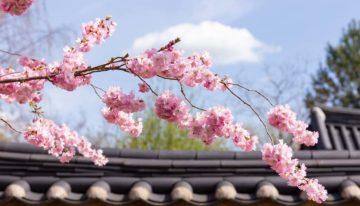 Die schönsten Orte zur Kirschblüte in Berlin