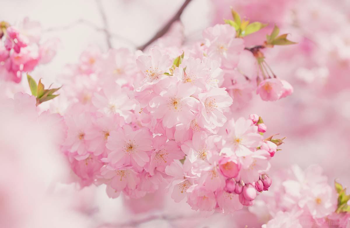 Kirschbäume blühen in der Regel von März bis Mai.