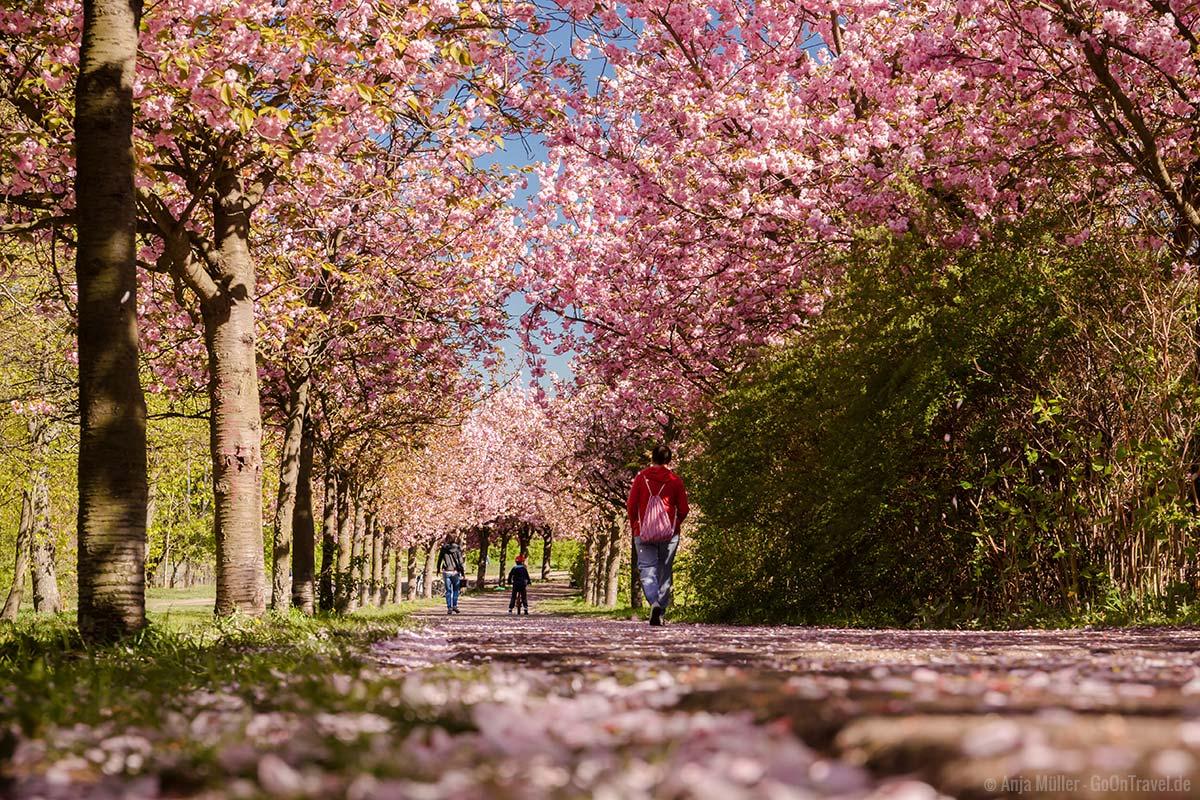 Kirschblüten in Berlin