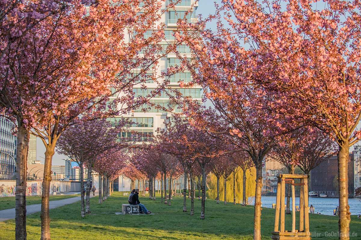 Kirschbäume hinter der East Side Gallery