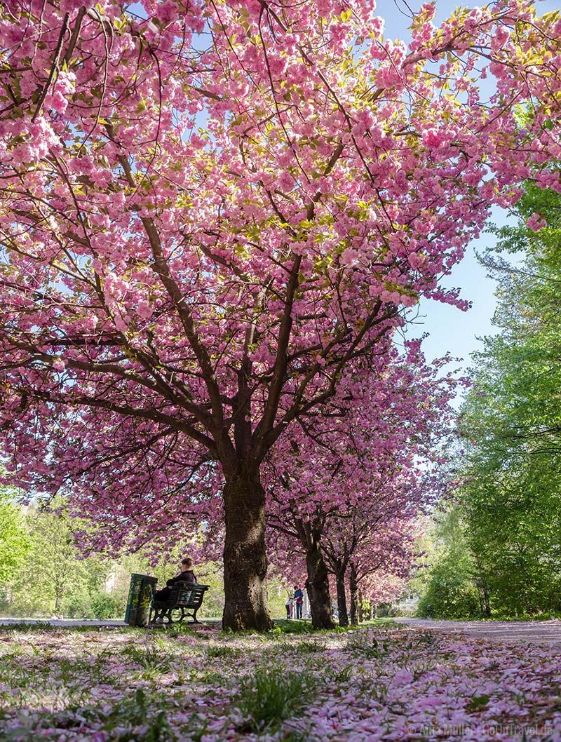 Kirschblüte am Mauerweg in Berlin Treptow