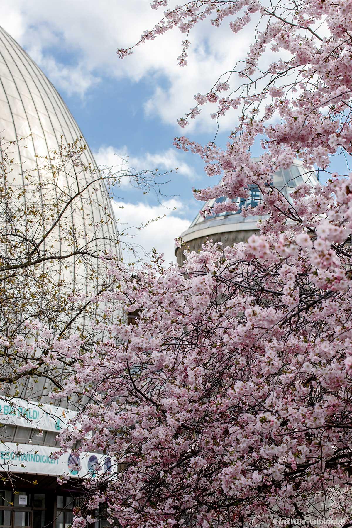 Rosa Kirschblüte mit dem Zeiss-Großplanetarium
