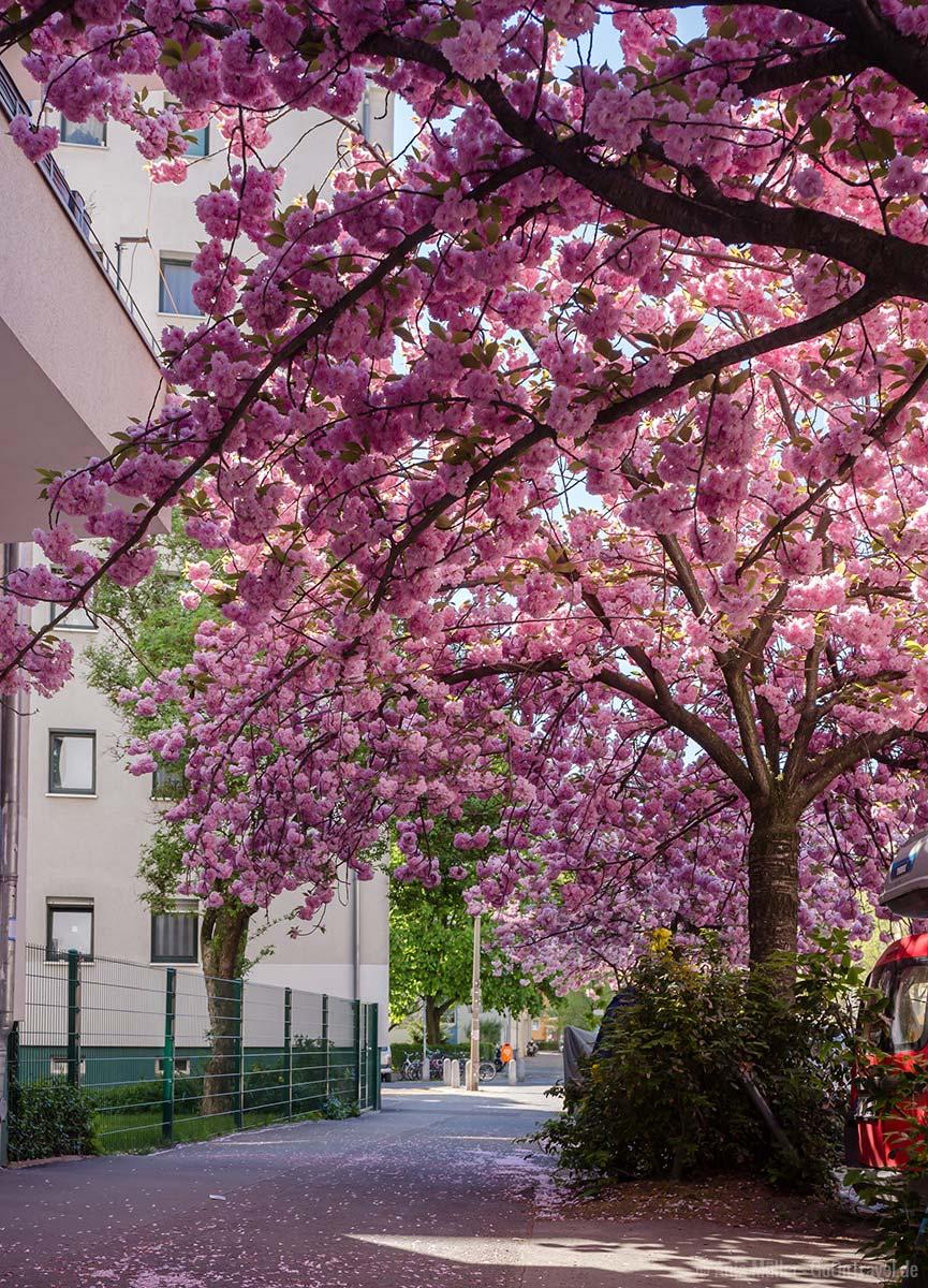 Kirschblüten in der Sonnenburger Straße