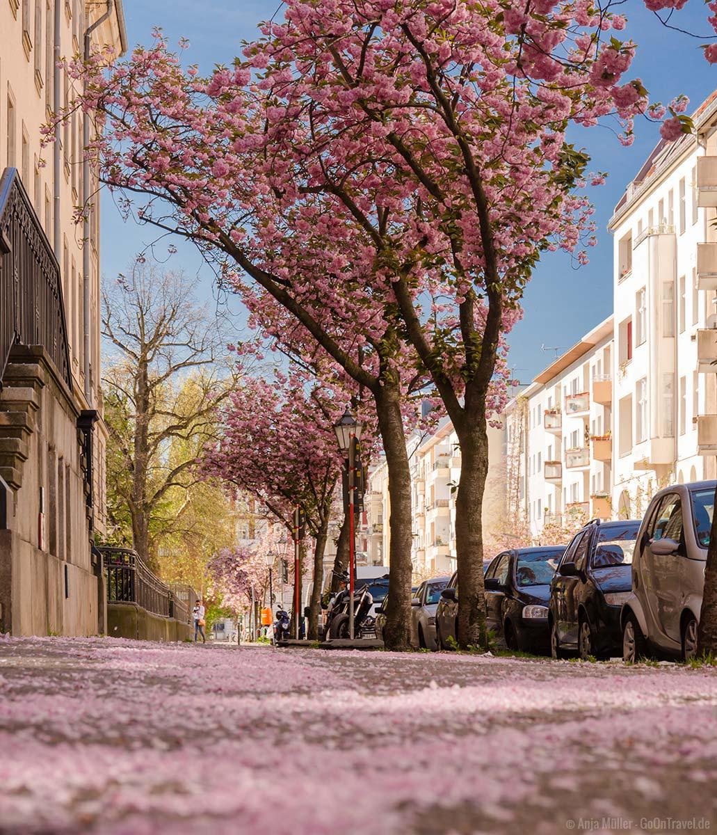 Kirschblüte in Berlin Schöneberg