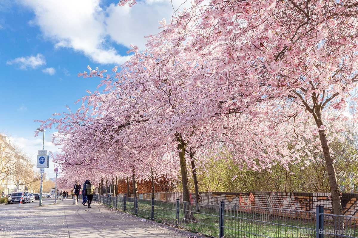 Kirschbäume an der Schwedter Straße
