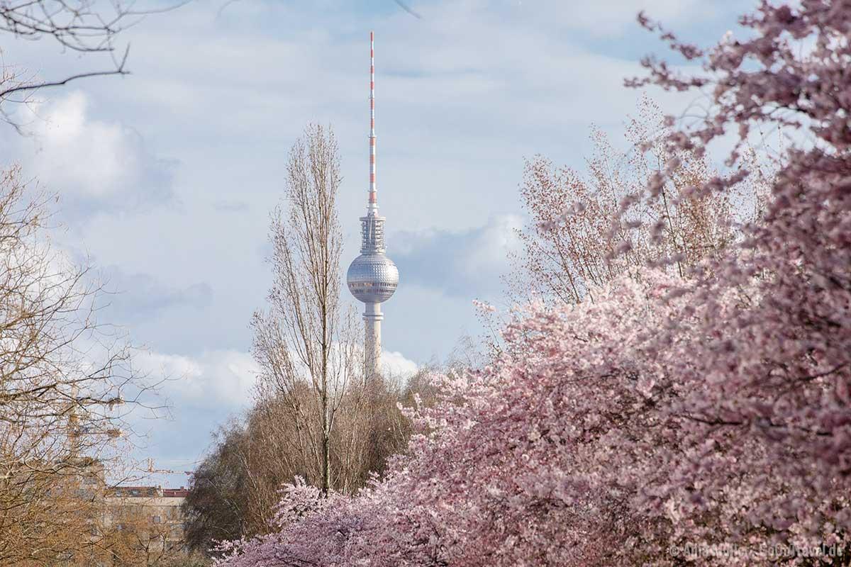 Kirschblüte und Berliner Fernsehturm geben ein harmonisches Bild ab