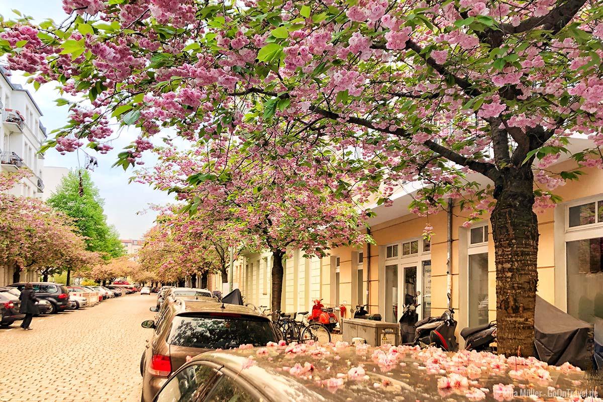 Kirschblüten in der Raabestraße im Winsviertel