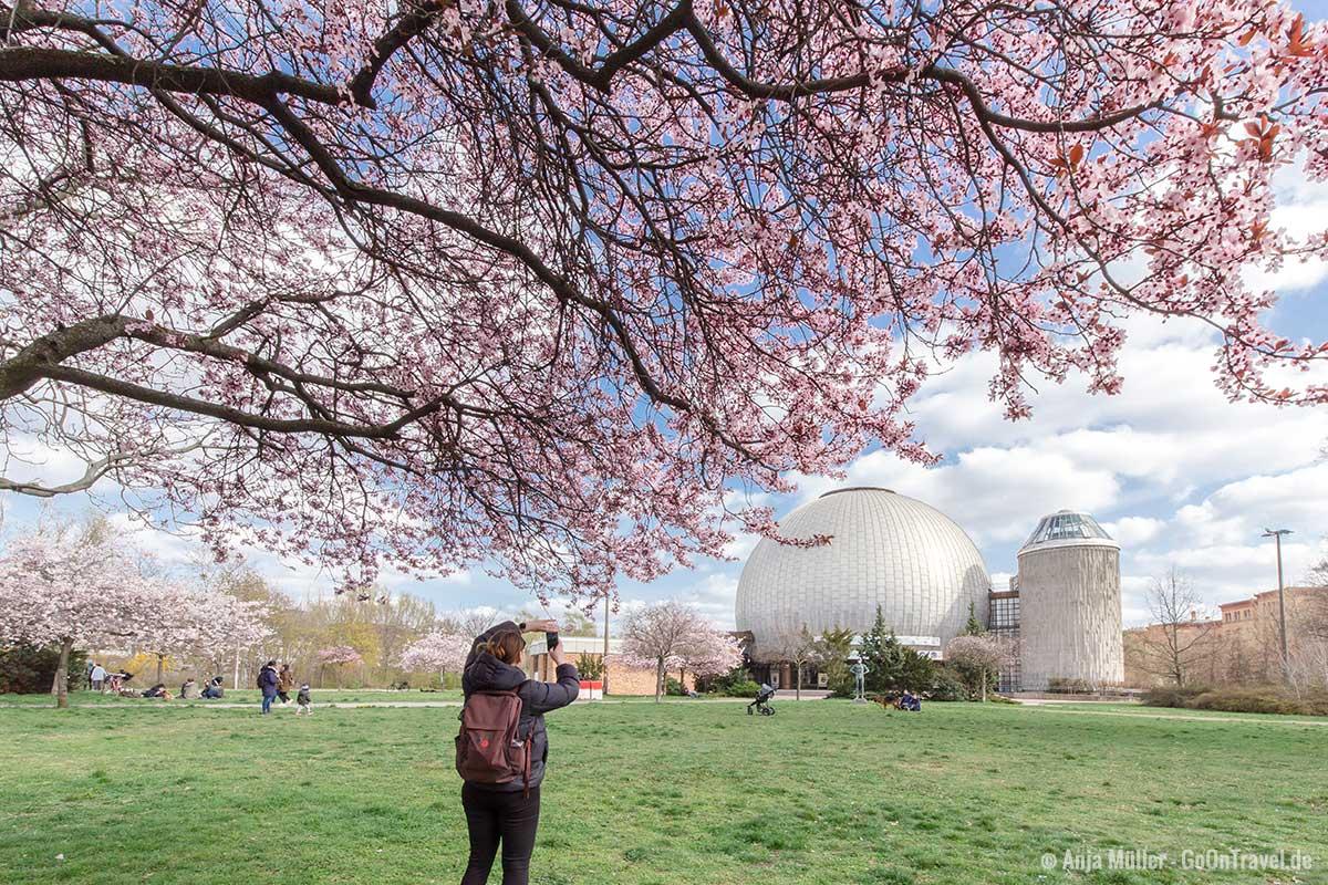 Kirschblüte am Zeiss-Großplanetarium