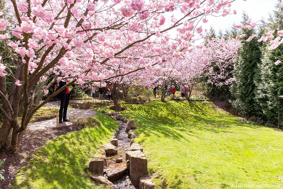 Kirschblüte in den Gärten der Welt