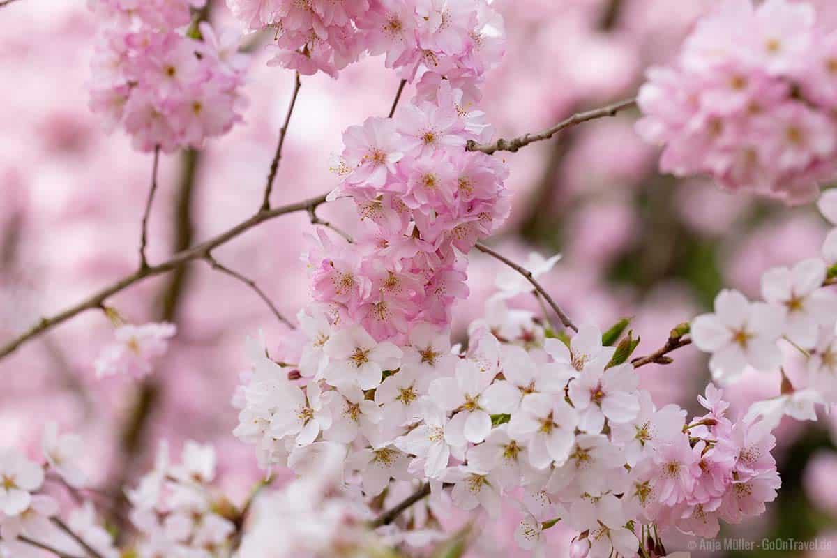 Rosa und weiße Kirschblüten