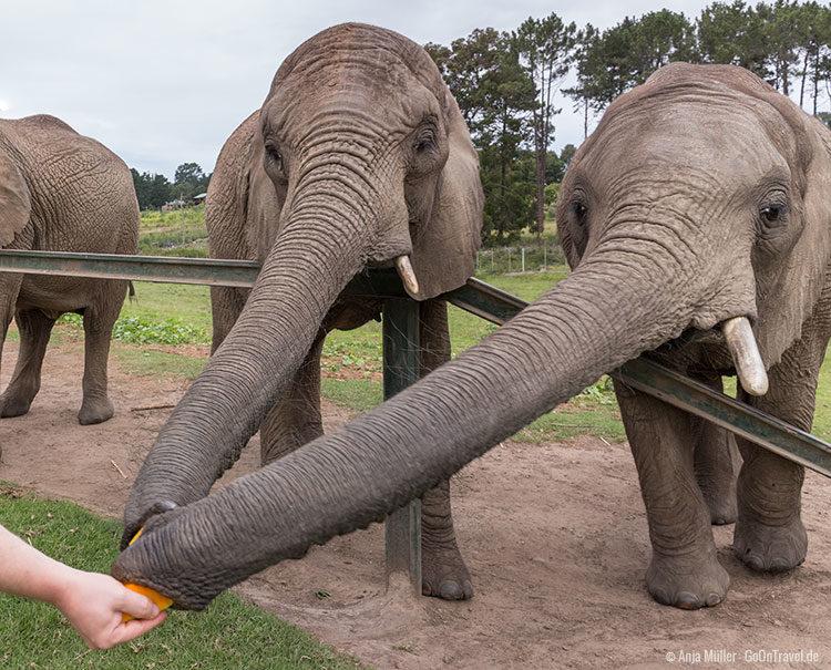 Fütterung der Elefanten