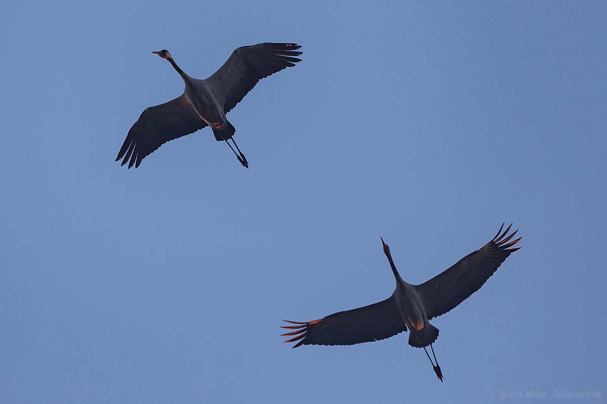 Kraniche am Morgen beim Überflug