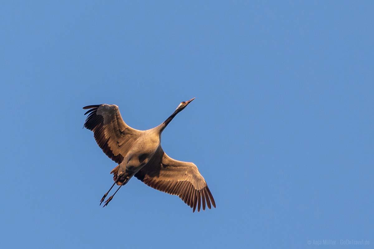 Kraniche haben eine Flügel Spannweite von bis zu 240 cm