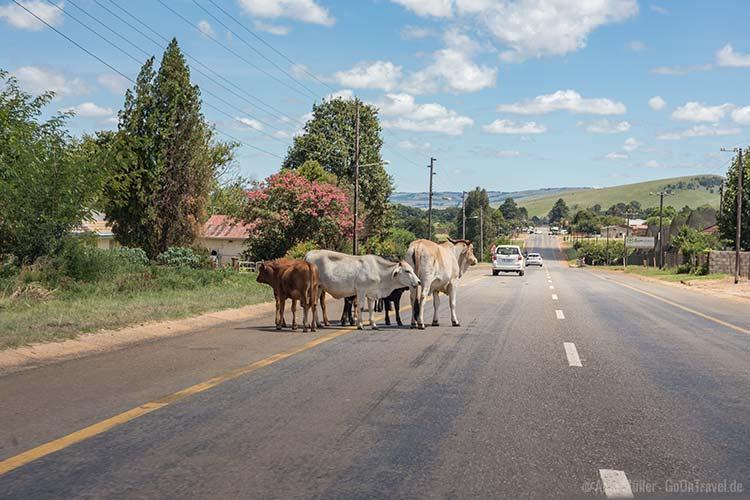 Kühe auf der Straße, irgendwo in Südafrika