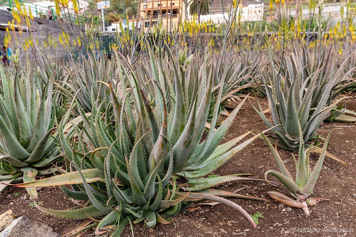 Hermigua Aloe Vera Plantagen