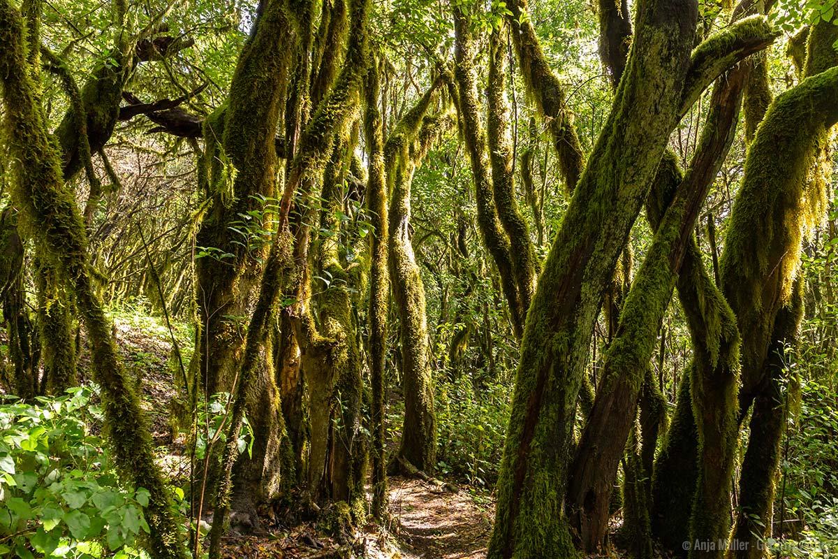 Moosbehangende Bäume im Nationalpark Garajonay