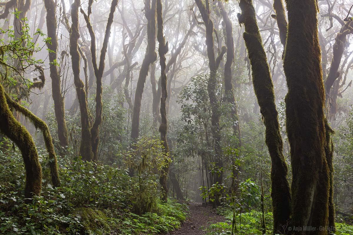 Nebel zieht durch den Nationalpark Garajonay