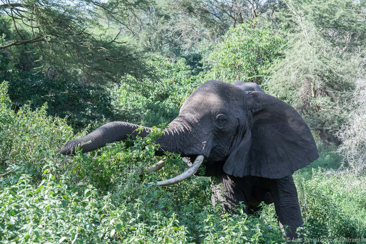 Elefant im Grundwasserwald im Lake Manyara Nationalpark in Tansania