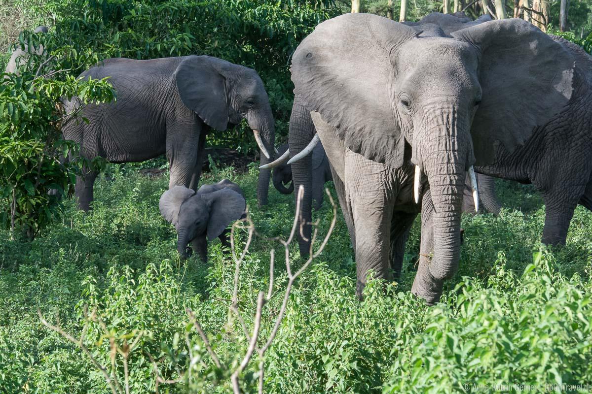 Elefantenherde mit Jungtier