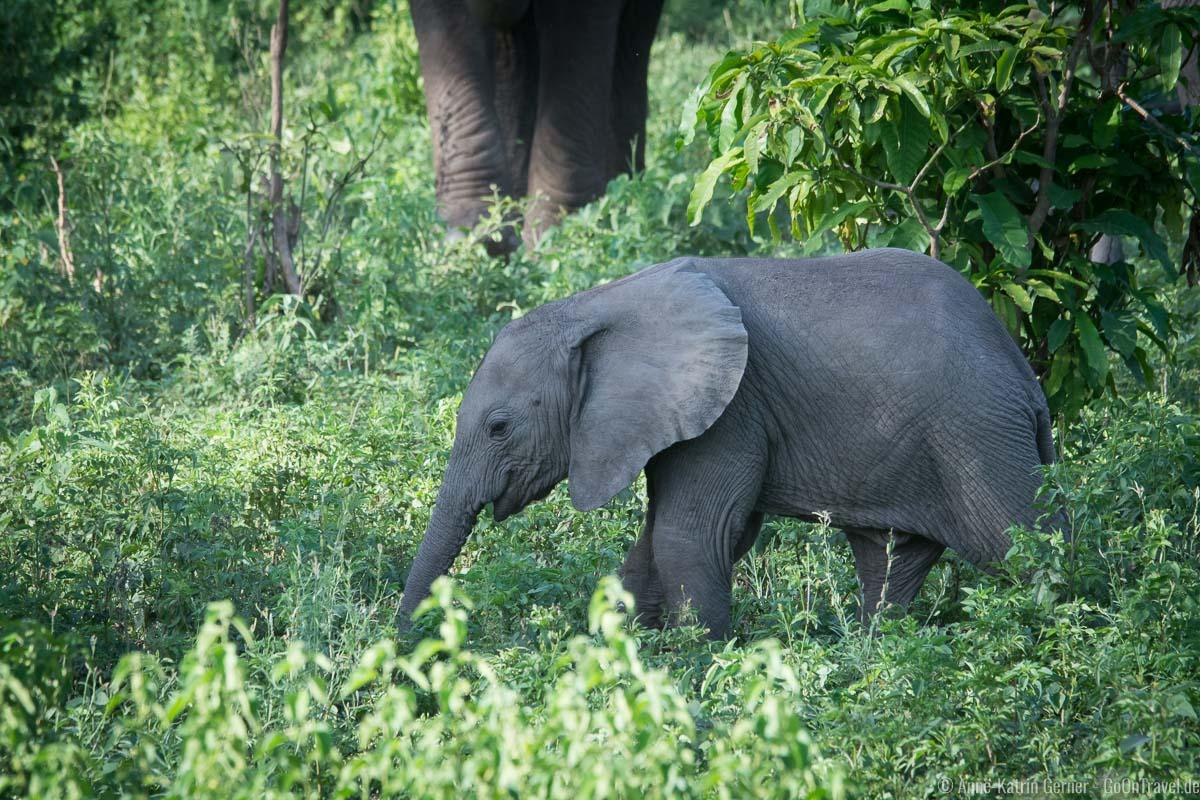 kleiner Elefant auf Futtersuche