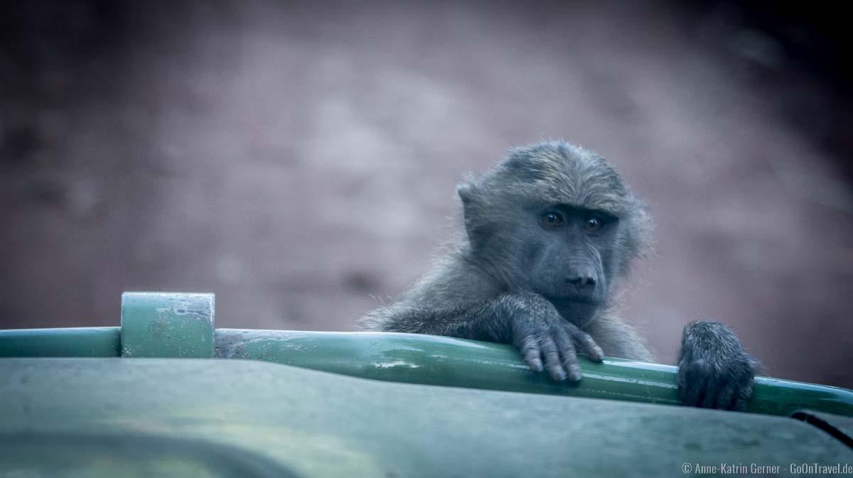 ein neugieriger Pavian klettert auf die Motorhaube