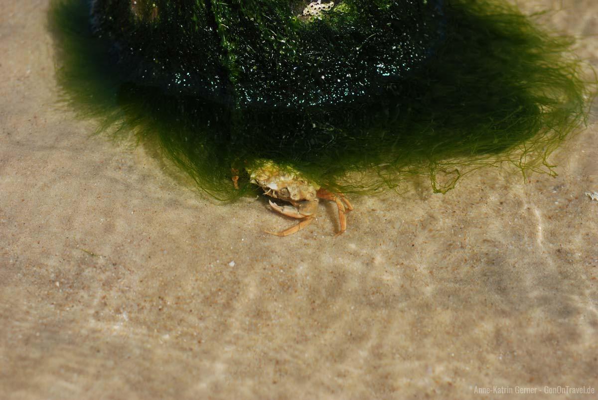 Strandkrabbe im Versteck