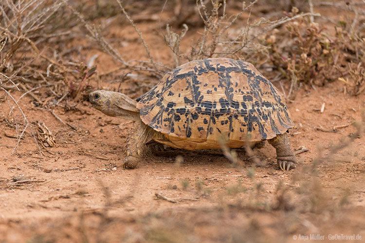 Die Pantherschildkröte erkennt man gut an ihrem markanten Panzer und den stacheligen Vorderbeinen.