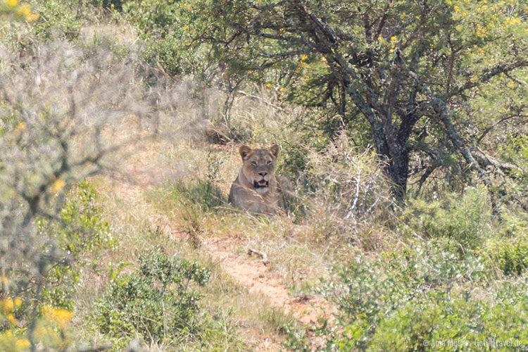 Eine Löwin im Schatten eines Baumes.