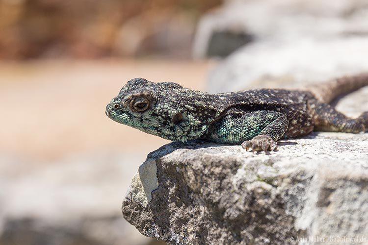 Ein Lizard am Kap der guten Hoffnung