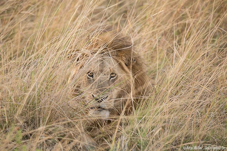 Ein Löwe wartet im Gras auf seine Beute
