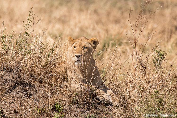 Ein Löwin hält perfekt getarnt Ausschau.
